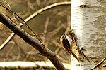 Tree Creeper - RSPB Sandy (24955598241).jpg
