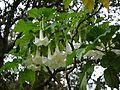 Tree Datura (4937810505).jpg