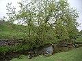 Tree and stream at Malham Cove - geograph.org.uk - 831873.jpg