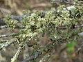Tree based lichen Bolgart area usnea scabrida.jpg
