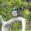 Tree swallow (21243668942).jpg