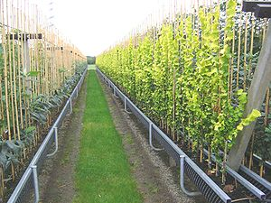 Plant nursery - A tree nursery using gutters to decrease growing costs