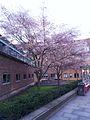 Trees in blossom outside St John's College, Cambridge.jpg
