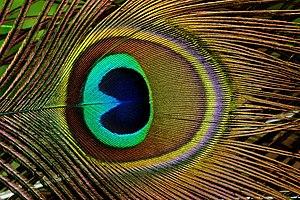 Nanomaterials - Image: Trevarno, pavo cristatus 06