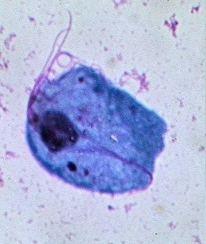 Giardia és Trichomonas)