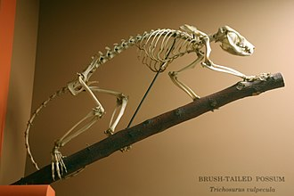 Common brushtail possum - Skeleton of common brushtail possum