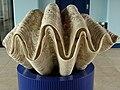 Tridacna gigas.001 - Aquarium Finisterrae.JPG