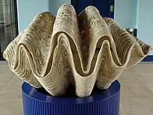Shell of the giant clam (Tridacna gigas)