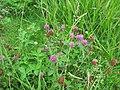 Trifolium pratense habit3 (10733500486).jpg