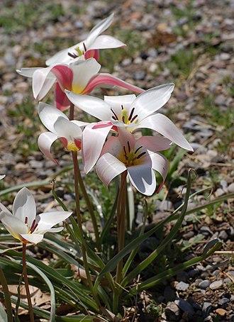 Tulipa clusiana - Image: Tulip Tulipa clusiana 'Lady Jane' Rock Ledge Plant 1730px