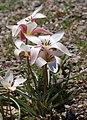 Tulip Tulipa clusiana 'Lady Jane' Rock Ledge Plant 1730px.jpg