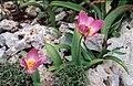 Tulipa saxatilis2LEST.jpg