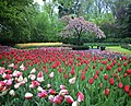 Tulips and tree at Keukenhof gardens.jpg