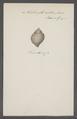 Turbinella rustica - - Print - Iconographia Zoologica - Special Collections University of Amsterdam - UBAINV0274 084 04 0022.tif