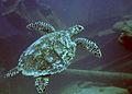 Turtle at Antilla Wreck Aruba (2916429432).jpg