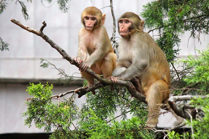 File:Two Monkeys in a tree near Jim Corbett Park, Uttarakhand, India.jpg