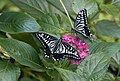 Two butterflies - Butterfly Place in Westford, Massachusetts.jpg