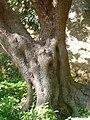 Ullastre del Parc Güell P1500844.jpg
