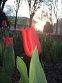 Une fleur rouge à Vichy (France).jpg