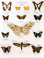 Université de Rennes 1, collection Charles Oberthür, papillons, région néotropicale, boîte 2.jpg