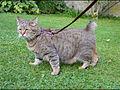 Bob Tailed Tabby Cat Williamstown