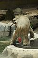 Ursus maritimus at the Bronx Zoo 014.jpg