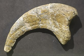 Utahraptor - Claw bone, BYU Museum of Paleontology