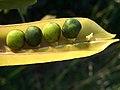 V.monantha-25jpg.jpg