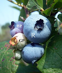 Free Printable Pictures Of Blueberries