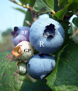 Blueberry - Blueberries showing various stages of maturation. IG = Immature Green, GP = Green Pink, BP = Blue Pink, and R = Ripe.