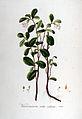 Vaccinium vitis-idaea — Flora Batava — Volume v6.jpg
