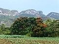 Vallée de Viñales-Tulipier du Gabon.jpg