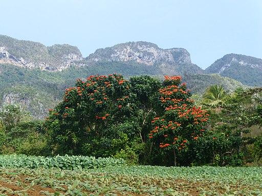 Vallée de Viñales-Tulipier du Gabon