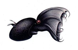 Vampire squid - Vampire squid illustration