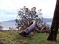 Vandalised tree - geograph.org.uk - 460874.jpg