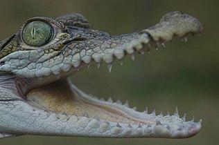 Vanderploeg (2007) juvenile Philippine crocodile.jpg