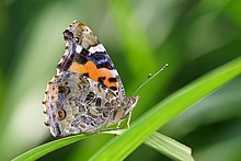 Vanessa indica ventral view 20141013.jpg