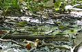 Vermivora chrysoptera St Louis Missouri 6.jpg