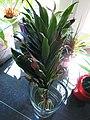 Vermutlich Yucca-Lilie (Steckling).JPG