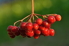 Viburnum opulus fruits - Keila.jpg
