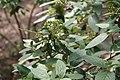 Viburnum x rhytidophylloides Willowwood 3zz.jpg