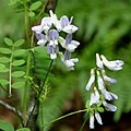 Vicia sylvatica in Slovenia (16099606868).jpg