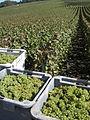 Vigne Chardonnay (Festigny) Cl.J.Weber01 (23382014680).jpg