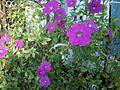 Violet Petunia.jpg