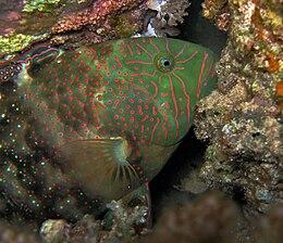 Viridescent Parrotfish - Calotomus viridescens