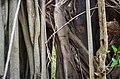 Voodoo Tree in Abomey.jpg