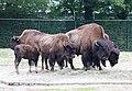 Waldbison Bison bison athabascae Tierpark Hellabrunn-3.jpg