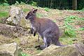 Wallaby at Marwell Wildlife.jpg