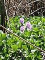 Water hyacinth (33076269862).jpg