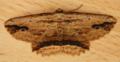 Waved Umber Moth - menophra abruptaria (41069473155).png